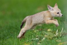 Leaping baby fox
