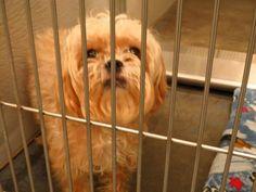 #GEORGIA #URGENT ~ ID 2013-11-092 is a 5yo Shih Tzu dog in need of a loving #adopter / #rescue at BARROW COUNTY ANIMAL CONTROL 610 Barrow Park Dr NW  Winder GA 30680 kperez@barrowga.org Ph 770-307-3012