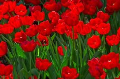 Red Tulips by Lorraine Hudgins