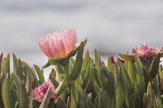 ZIRIPITI beach praia flower