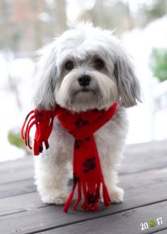 All About Havanese Puppy Website Source by alfiejamesavery The post Havanese Dogs Girls appeared first on Douglas Dog Hotel. Havanese Haircuts, Havanese Grooming, Puppy Grooming, Havanese Puppies, Cute Puppies, Dogs And Puppies, Goldendoodle, Shih Tzu, Bichon Havanais