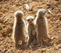 Young meerkats (Suricata suricatta) on the look out for their mum