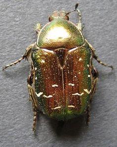 scarabee                                                                                                                                                                                 Plus