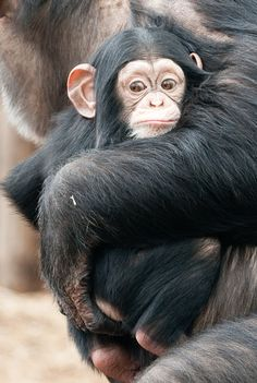 Baby chimp- google images <3