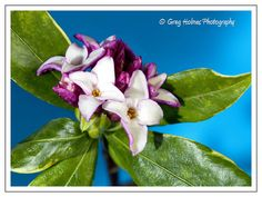 I believe that this shrub is called Daphne. Anyway I am practising with my new Canon Macro lens.