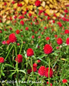 Blazing red gomphrena Monarchs flutter into Dallas Arboretum on fall migration | Digging