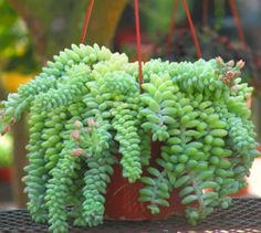 "Donkey ""Burros"" Tail      This plant eventually grows to 4′ long which will take around 6 years or so. As it grows it gets very thick with those trailing stems heavily laden with overlapping plump, juicy leaves which form a groovy braided pattern. As you can imagine, a mature plant gets very heavy. This plant is not for a flimsy pot with a flimsy hanger. It's best grown in a hanging basket, in a large pot like mine, in a pot that hangs against a wall or trailing out of a rock garden."