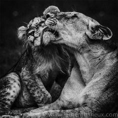 Terre des lions : les incroyables clichés d'animaux sauvages d'Afrique de Laurent Baheux