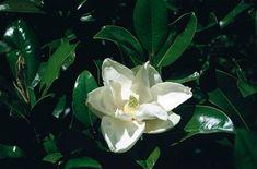 RHS Plant Selector Magnolia grandiflora 'Goliath' / RHS Gardening