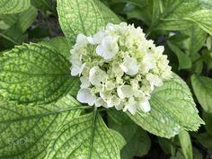 White Hydrangea - White Hydrangea in Botanical Garden