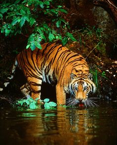 Amazing wildlife - Bengal Tiger in water photo #tigers central India by Jim Zuckerman