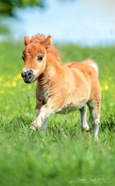 Poulain alezan mini horses, cute baby horses, cute baby animals, animals and pets Cute Baby Horses, Pretty Horses, Horse Love, Beautiful Horses, Animals Beautiful, Mini Horses, Pretty Animals, Beautiful Horse Pictures, Cute Little Animals