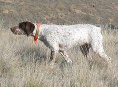 """Elfe de la Benigousse """"Elfie"""" owned by Elk Run Kennels - Braque de Bourbonnais Curly Coated Retriever, Braque Du Bourbonnais, Terrier, Dog Breeds, Pets, Google, Beauty, Elf, Dogs"""