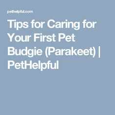 Tips for Caring for Your First Pet Budgie (Parakeet) | PetHelpful