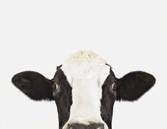 Cow: Pictures of Farm Animals: The Animal Print Shop | Sharon Montrose