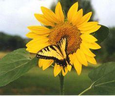 Zebra Swallowtail on Sunflower