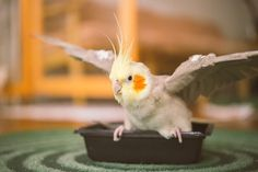 Embedded image Cockatiel, Budgies, Animals And Pets, Cute Animals, Cute Birds, Exotic Birds, Cute Creatures, Bird Feathers, Shih Tzu