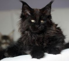 sisi http://www.mainecoonguide.com/where-to-find-maine-coon-kittens-for-sale/
