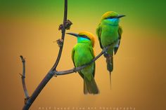 ~ Karayla ~  By Atif Saeed Fine Art Photography Location: Lahore, Pakistan Description: These birds common name in central Punjab is Karayla, mostly its community found in Rosewood trees and rice or wheat fields.