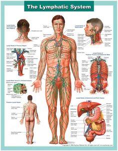 Lymph-System