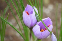 Learn how to grow saffron in milk crates. Borrowing a farm-scale growing technique, home gardeners can easily grow and harvest saffron in containers.