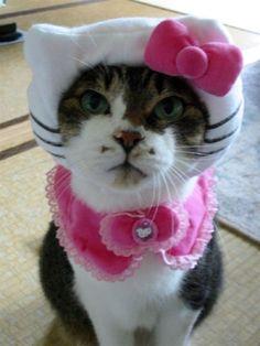 Hello Kitty cat:   minette résignée et se sentant ridicule ? mais son costume est réussi :)