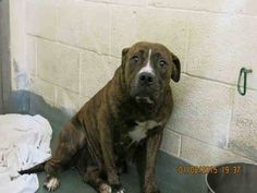 Pulled by lucky dog rescue. Urgent Dogs of Miami...LADY.(A1669962)..SOO HAPPY!!