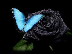 Black Rose and Blue Butterfly