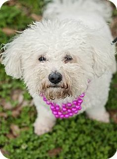 Portsmouth, RI - Bichon Frise. Meet Gigi a Dog for Adoption.