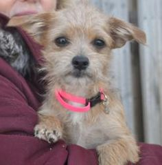 Sally is an adoptable Border Terrier Dog in Hartland, WI. Check out her foster moms blog.� The link is below. � Please take time to read this ENTIRE listing, including clicking on the Read More Abou...
