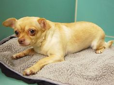 SAFE 12/17/14Manhattan Center   ETHEL - A1023050  *** NEW HOPE ONLY ***  FEMALE, TAN / WHITE, CHIHUAHUA SH MIX, 6 yrs STRAY - STRAY WAIT, NO HOLD Reason STRAY  Intake condition EXAM REQ Intake Date 12/13/2014, From NY 10458, DueOut Date 12/16/2014,  https://www.facebook.com/photo.php?fbid=922625687750311