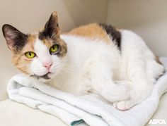 12 year-old Snuggles is a sweet and social cat who enjoys lots of attention from her favorite people. This low maintenance girl loves to sleep and is happiest when snoozing on the couch by your side—but bring out her favorite toys and a few yummy treats, and she'll be ready for playtime in no time!
