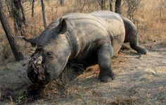 Left to die after mutilation caused by the removal of the rhino's horn by poachers