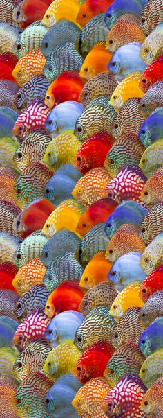 discus variety pattern - The world's most private search engine Discus Aquarium, Tropical Fish Aquarium, Discus Fish, Fish Ocean, Tropical Freshwater Fish, Freshwater Aquarium Fish, Fish Wallpaper, Animal Wallpaper, Beautiful Fish