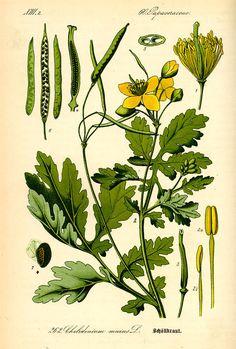 Greater celandine, in Flora von Deutschland, Österreich und der Schweiz (1885) by Thomé. © Kurt Stueber, 2007. GNU Free Document License. [greater celandine, Chelidonium majus, Papaveraceae]