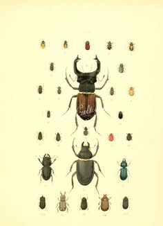 insects-04615 - 011-Beetle, coleoptera [2027x2802] -