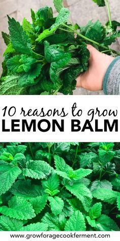 Lemon balm is an awesome herb with numerous benefits! Here are 10 great reasons to grow lemon balm for your garden, your health, and delicious food and drinks! #lemonbalm #herbgarden #herbalism