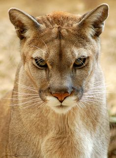 Cougar, or Puma, is north America's best known wild cat.