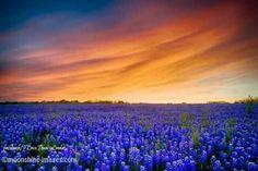 Texas Sunset over Bluebonnets