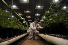 Wer kontrolliert im US-Staat Colorado, ob legal gekauftes Cannabis frei von gefährlichen Pestiziden ist? Eine CNN-Recherche zeigt: niemand. In Marihuana-Produkten, die im US-Bundesstaat Colorado le…