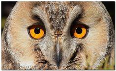Owls eyes by muratca #animals #animal #pet #pets #animales #animallovers #photooftheday #amazing #picoftheday
