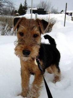 Welsh Terrier Terrier Gallois, Fox du Pays de Galle