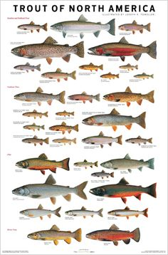Joe Tomelleri is a friend, and the best illustrator of fishes I've ever seen. This is a poster that I designed for Scott & Nix, featuring some of Joe's many trout illustrations.
