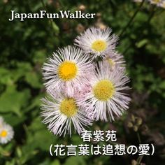 Daisy Fleabane 春柴苑 now blooming around in Japan's park or country side...meaning memories of past love  花言葉は追想の愛