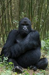 Ape Photos - Mountain Gorilla Silverback by Suzi Eszterhas
