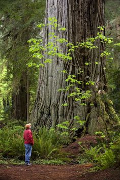 BIG tree, Redwoods National Park, California. We had an article in our 2005 Spring issue about the Redwood Highway. Beautiful!