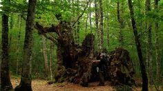 Impresionante tronco de un roble en el robledal de Irañeta. Así es #Navarra.--> http://www.turismo.navarra.es/esp/recurso.aspx?o=6482