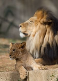 Father and Son #lion #Cub