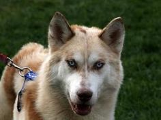 Mossie is an adoptable Siberian Husky Dog in Harvard, IL. Free Spirit Siberian Rescue   I am Male that is 3y 7m old Breed Husky Mix I weight about 45 lbs. I have Blue eyes with a Red/White fur coat Go...