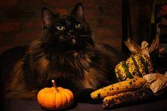Lulahween, Autumn Cat With Pumpkin 4 by Vivienne Gucwa, via Flickr
